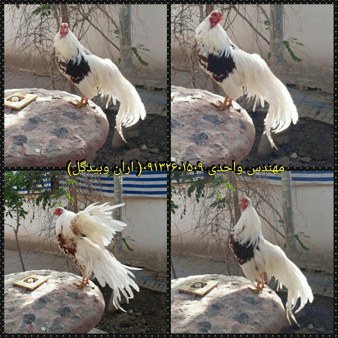 مرغ و خروس نژاد یوکوهاما(Yokohama fowl)