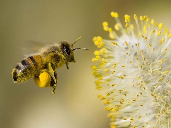 جایگزین های گرده در پرورش زنبور عسل