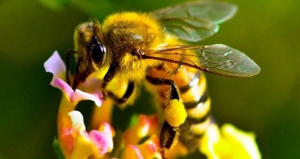 فاکتورهای مساعد کننده بیماریهای زنبورعسل