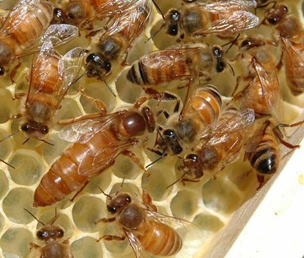 گونه ها و نژادهای زنبورعسل