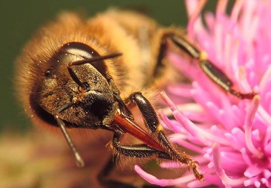 نوش و چگونگی جمعآوری آن توسط زنبور عسل