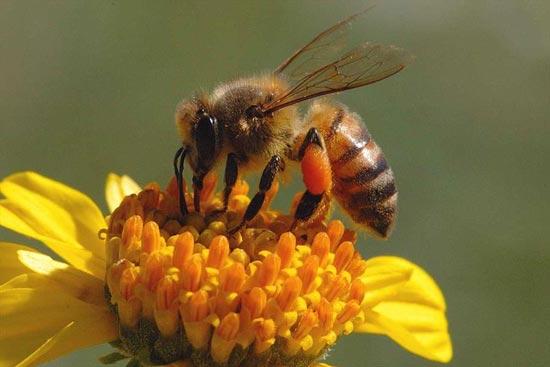 نا هنجاری ها و بیماری های غیر عفونی زنبور عسل