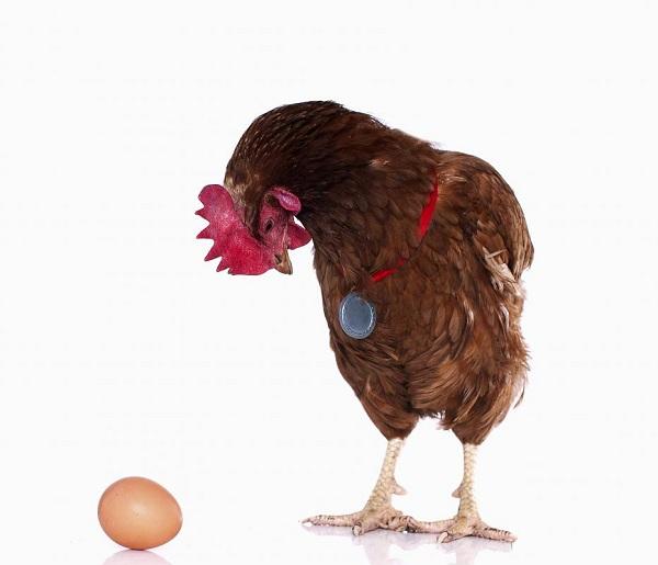تخم گذاری مرغ ها بر روی زمین و خطرات آن