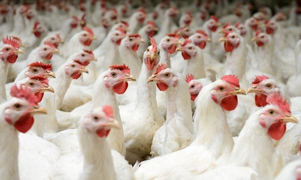 نکات مهم در افزایش بازدهی تهویه در مرغداری ها