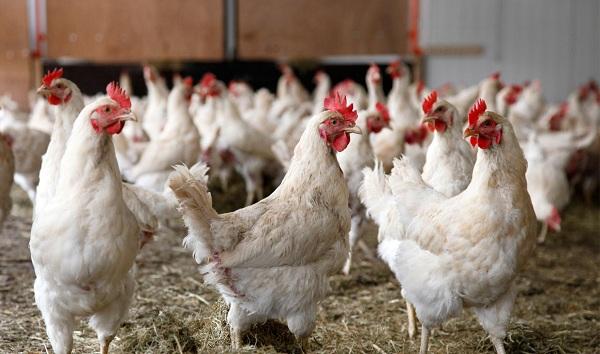 مدیریت پرورش مرغ مادر از گرید تا هفته یازدهم