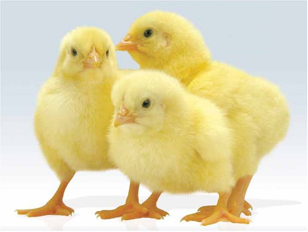 راه های افزایش جوجه در آوری در مرغداری ها