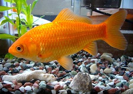 بررسی چگونگی تنفس ماهی درآب