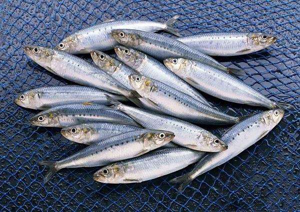 اکولوژی ماهی کیلکای آنچوی