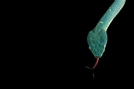 22 عکس جالب و دیدنی از مارهای سمی و خطرناک سراسر جهان