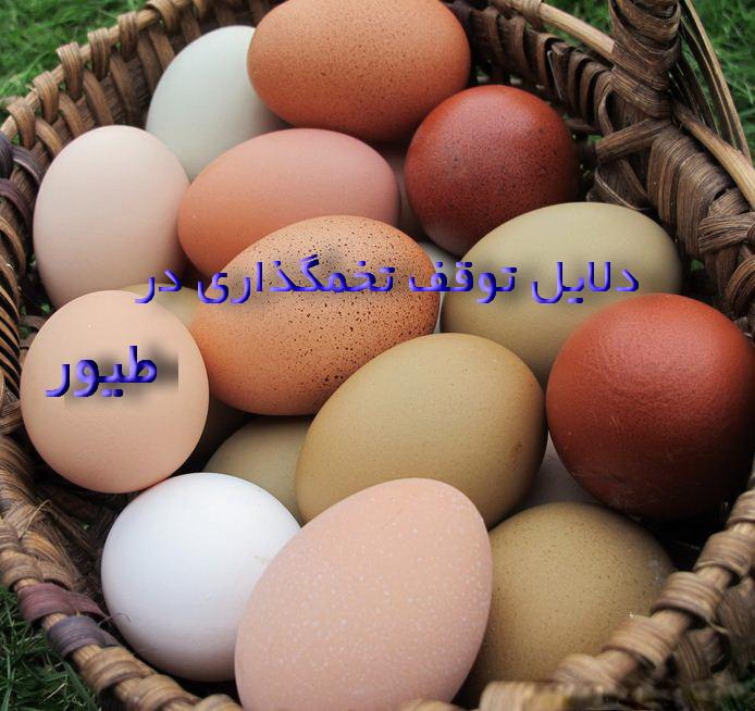 دلایل توقف تخمگذاری در طیور