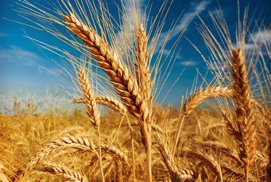 پاورپوینت کشاورزی با عنوان علف هرز گندم