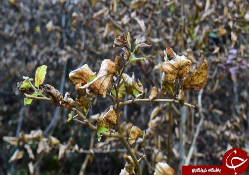 سایه مرگ بر سرجنگل های هیرکانی/تنش خشکی در جنگل های مازندران