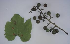 آفات و بیماریهای مهم انگور