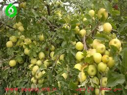 دستور العمل اجرایی پروژه اصلاح باغهای میوه دانه دار( سیب)