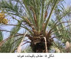دانلود آشنایی با بیماری بلایت و سوختگی برگ درختان خرما در استان خوزستان
