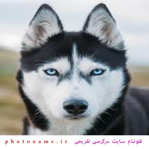 اسم سگ هاسكي ماده