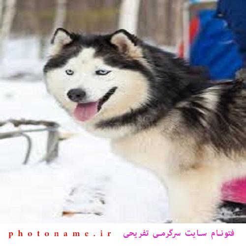 سگ هاسکی در ایران