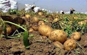 اموزش 541 راهنمای تغذیه گیاهی درسیب زمینی