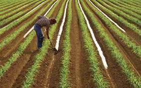 اموزش آبیاری جویچه ای یک در میان زراعت گندم