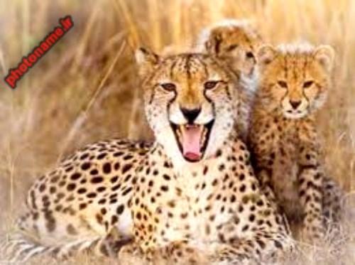 عکس در مورد یوزپلنگ (چیتا)