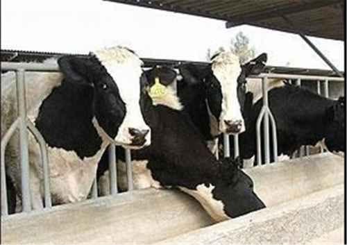 تحقیق و پژوهش اصول و راهکارهای پرورش گاو شیری و گوساله