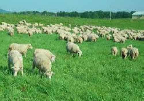 کتاب آموزش پرورش گوسفند پروار و داشتی