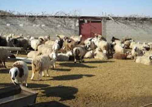 پاورپوینت بررسی اقتصاد پرواربندی گوسفند