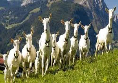 تحقیق پرورش گوسفند و بز و بره تغذیه بیماریها و واکسنهای مربوطه
