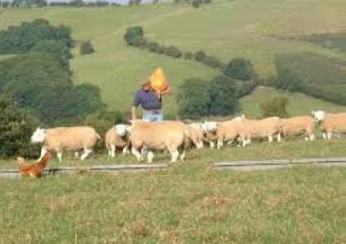 پاورپوینت اصول و کلیات پرورش بره و گوسفند