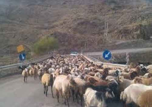 پاورپوینت پرورش گوسفند و بره