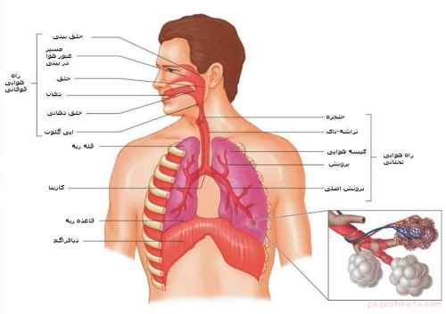 اموزش دستگاه تنفس