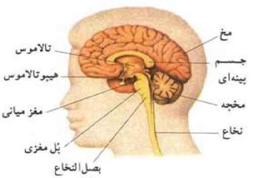 فایل دستگاه عصبی