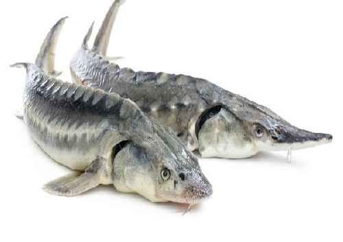پاورپوینت ماهیان خاویاری ایران