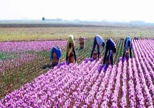 پکیج آموزشی کشت زعفران به زبان فارسی