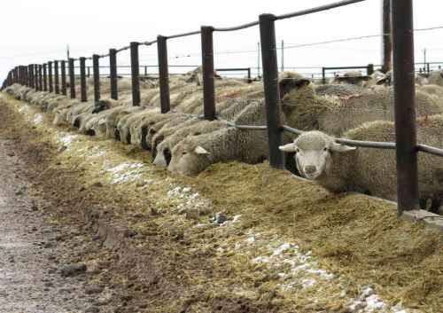 طرح توجیهی پروار بندی گوسفند 200 راسی