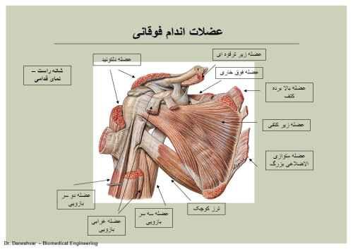 نمونه سوالات آناتومی اسکلتی فوقانی