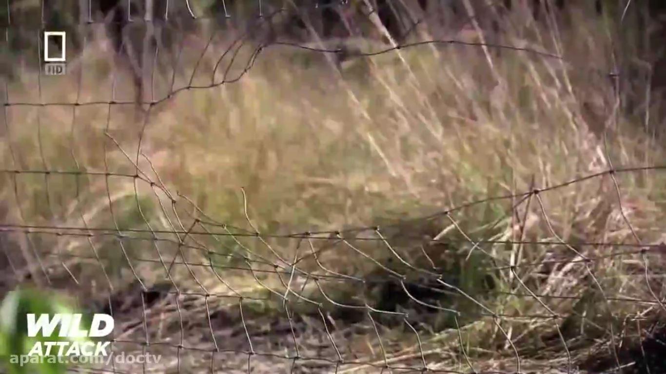 مستند فیلم  شیرها بهترین شکارچیان حیات وحش