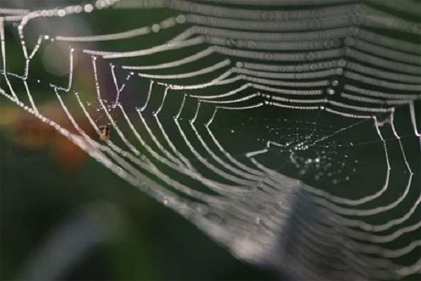 تولید تار عنکبوت مستحکم تر با استفاده از گرافن