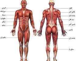 پاورپوینت آناتومی عضلات بدن