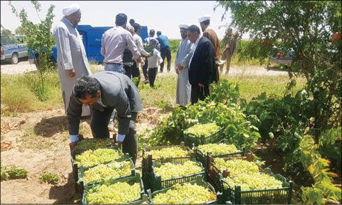 کام مددجویان امداد زیرکوه با انگور محمدآباد شیرین شد