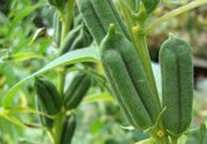 کشت دانه روغنی کنجد در سطح هزار هکتار از اراضی مهر