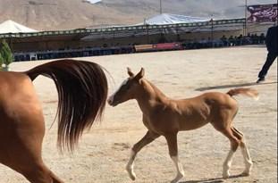 درخشش اسبهای لامرد در مسابقات ملی زیبایی اسب