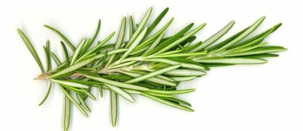 خواص درمانی گیاه رزماری