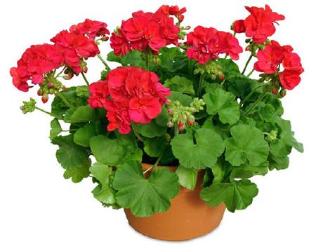راهنمای نگهداری از گل شمعدانی, روش گل دادن گل های شمعدانی
