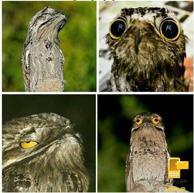 ننه من غریب، پرندهای با چشمهای عجیب