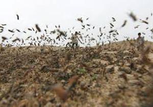 هجوم ملخ های صحرایی به مزارع شهرستان مُهر
