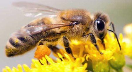 درمان سرطان روده با زهر زنبور