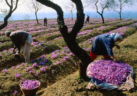 كشت زعفران,زعفران ایرانی,گل زعفران