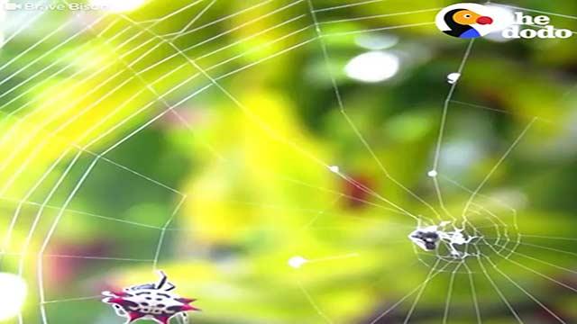 چگونه عنکبوت خانه خود را درست می کند ؟