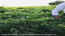 کود ارگانیک چالکود انگور 5  نیواگرو   الوند دانه خمین